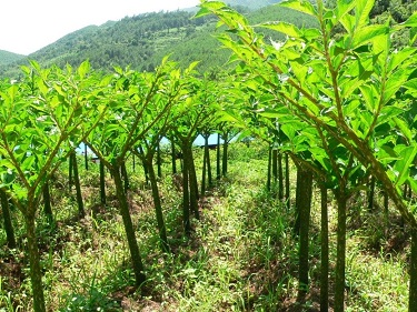 konjac-plant-field-representative-nupasta-low-calorie-pasta